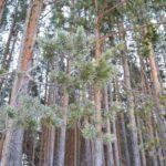 Убрать за собой лесосеку — обязанность гражданина