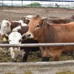 В Ярковском районе продолжает расти поголовье крупного рогатого скота