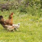 В регионе зафиксированы вспышки птичьего гриппа