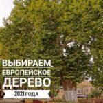 Голосуем за представителя России на международном конкурсе «Европейское дерево года 2021» — Древний платан из Республики Дагестан!