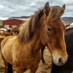 Будьте внимательны: инфекционная анемия лошадей